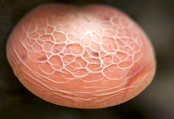 Rhodotus palmatus