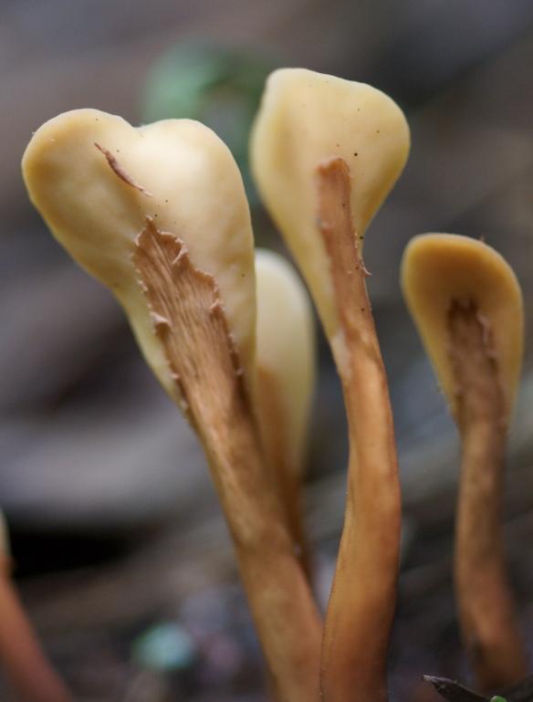 Spathularia-velutipes-cclif_AM